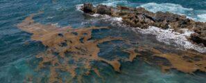 Algues Sargasse - Mission GIRUS GE