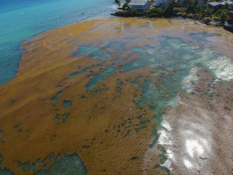 algues sargasses région guadeloupe